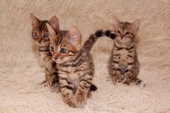 三只逗人喜爱的孟加拉小猫在一条软的床罩使用 一个月大 免版税库存照片