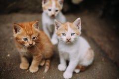 三只逗人喜爱的无家可归的白色和姜小猫 库存照片