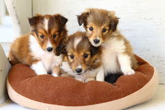 三只逗人喜爱的设德蓝群岛牧羊犬小狗! 库存照片