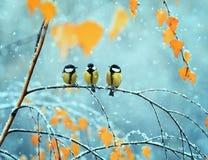 三只逗人喜爱的鸟山雀画象在公园坐branc 免版税库存照片