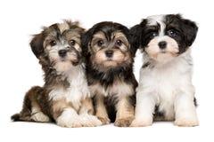 三只逗人喜爱的havanese小狗紧挨着坐 库存照片