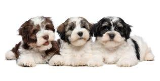 三只逗人喜爱的havanese小狗紧挨着说谎 免版税图库摄影
