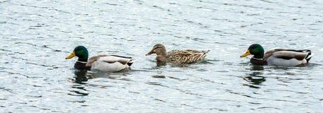 三只野鸭鸭子连续 免版税库存图片