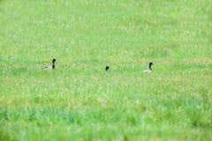 三只野鸭 免版税库存照片