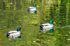 三只雄鸭鸭子在秋天公园池塘 库存图片