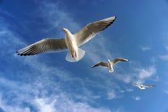 三只飞行的海鸥在天空中 免版税库存照片