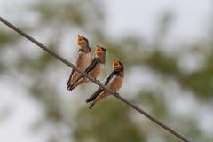 三只饥饿的鸟 库存照片