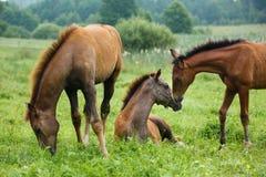 三只驹在草甸 免版税图库摄影