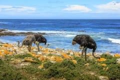 三只驼鸟吃 免版税库存图片