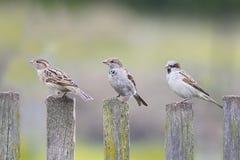 三只鸟麻雀飞行到木篱芭 库存照片