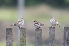 三只鸟麻雀飞行到木篱芭 免版税库存图片