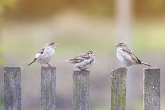三只鸟麻雀飞行到木篱芭 免版税库存照片