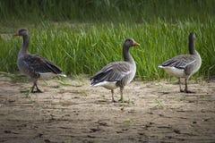 三只鸟 免版税库存照片