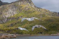 三只鸥在飞行中在海岸 免版税库存图片