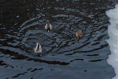 三只鸭子在与冰的冬天水中 免版税库存图片