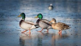 三只鸭子在冰 免版税库存图片
