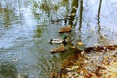 三只鸭子游泳在秋天池塘 库存照片