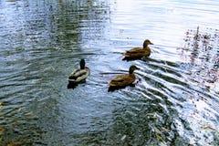 三只鸭子游泳在秋天池塘 免版税库存照片