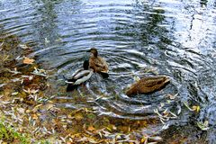 三只鸭子游泳在秋天池塘 免版税库存图片