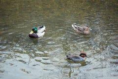 三只鸭子游泳者帮会 库存照片