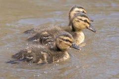 三只鸭子游泳 免版税库存图片