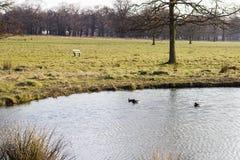 三只鸭子游泳 库存照片
