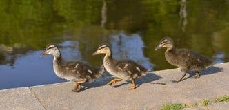 三只鸭子走 免版税库存图片