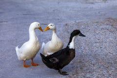 三只鸭子走 免版税图库摄影
