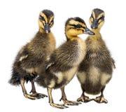 三只鸭子 免版税库存照片
