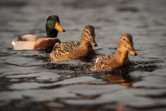 三只鸭子 图库摄影