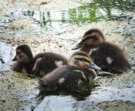 三只鸭子 免版税库存图片
