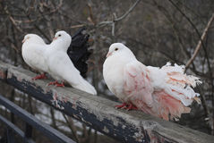 三只鸽子在春天在公园坐篱芭 免版税库存照片