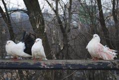 三只鸽子在春天在公园坐篱芭 库存照片