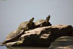 三只黄腹吸汁啄木鸟的滑子乌龟 图库摄影