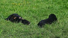 三只黑德国牧羊犬小狗在绿草走 股票视频