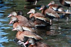 三只黑鼓起的吹哨的鸭子 免版税图库摄影