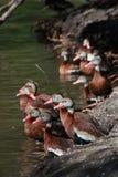 三只黑鼓起的吹哨的鸭子 免版税库存图片