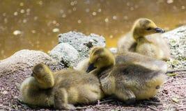 三只婴孩幼鹅 库存图片