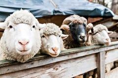 三只绵羊和公羊在笔 图库摄影