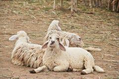 三只绵羊在槽枥坐 免版税库存图片