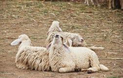 三只绵羊在槽枥 库存图片