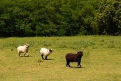 三只绵羊在草甸 免版税库存照片