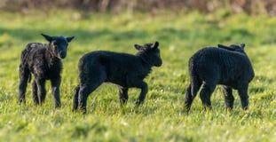 三只黑羊羔在春天 免版税库存照片