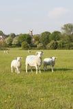 三只绵羊 库存图片