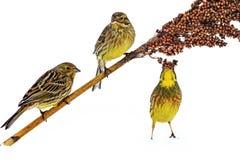 三只黄色鸟吃在白色隔绝的高梁 库存图片