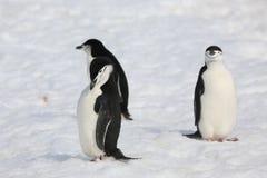 三只Chinstrap企鹅在南极洲 免版税库存照片