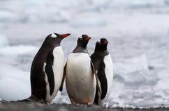 三只gentoo企鹅Pygoscelis站立在岸的巴布亚在冰盖的海洋旁边,南极洲 库存照片