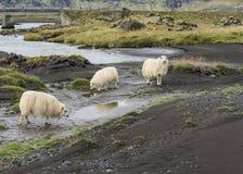 三只Islandic绵羊在秋天 免版税库存图片