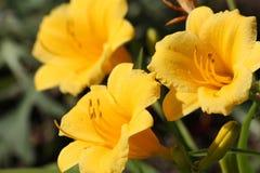 三史特拉de在绽放的Oro Flowers 库存图片