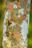 三叶橡胶树吠声样式 免版税库存照片